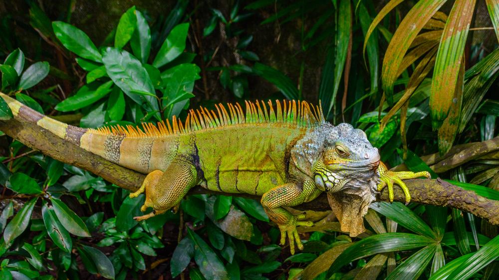 Iguana Zeeland